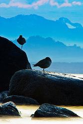 Pluvialis Squatarola ~ Plover picture from Cortes Island Canada.