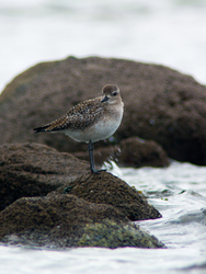 Black-bellied Plover ~ Plover picture from Cortes Island Canada.