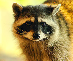Raccoon Portrait 3 ~ Raccoon picture from Cortes Island Canada.