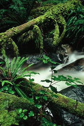 Rainforest #37 - Rainforest photo from  Cortes Island BC, Canada