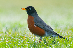 American Robin -  Robin photo