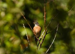 Robin protrait ~ Robin picture from Cortes Island Canada.