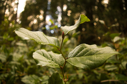 Salal ~ Salal picture from Cortes Island Canada.