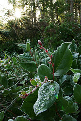 Salal and the Afternoon Sun ~ Salal picture from Cortes Island Canada.
