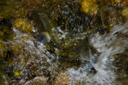 Chum Power ~ Salmon picture from Cortes Island Canada.