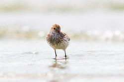Western Sandpiper Portrait -  Sandpiper photo