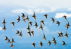 Western Sandpipers in Flight ~  Sandpiper picture from Cortes Island Canada.
