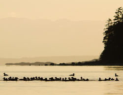 Surf Scoters ~ Scoter picture from Cortes Island Canada.