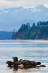 Harbour Seals ~ Seal picture from Cortes Island Canada.