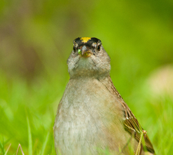 On Alert ~ Sparrow picture from Cortes Island Canada.