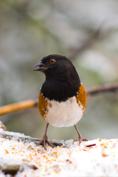 Spotted Towhee -  Sparrow photo