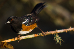 Spotted Towhee ~ Sparrow picture from Cortes Island Canada.