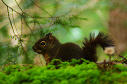 Douglas Squirrel ~ Squirrel picture from Cortes Island Canada.