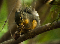 A Snack Beneath the Cedar Tree ~ Squirrel picture from Cortes Island Canada.