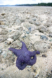 Purple Starfish -  Starfish photo