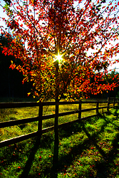 The Sun and the Maple ~ Sunrise picture from Cortes Island Canada.