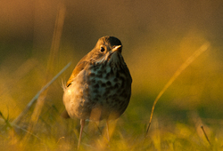 Hermit Thrush Portrait -  Thrush photo