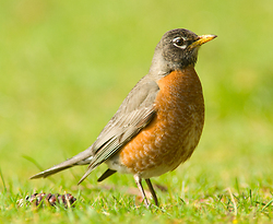 Female American Robin ~ Thrush picture from Cortes Island Canada.