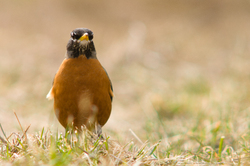 American Robin ~ Thrush picture from Cortes Island Canada.