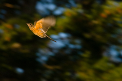 Robin in Flight ~ Thrush picture from Cortes Island Canada.