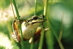 Pacific Tree Frog ~ Tree Frog Photo from Cortes Island Canada.