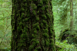 Portrait of an Old-growth Douglas-fir ~ Tree picture from Cortes Island Canada.