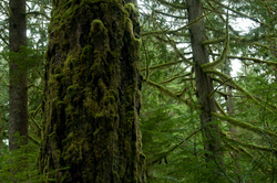 Rainforest Mosses on the Old-growth ~ Tree picture from Cortes Island Canada.