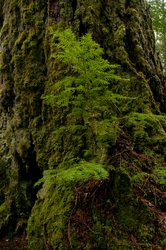 Hemlock/Fir ~ Tree picture from Cortes Island Canada.