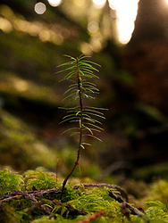 A Young Fir Tree ~ Tree picture from Cortes Island Canada.
