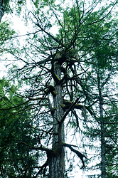 Canopy ~ Tree picture from Cortes Island Canada.