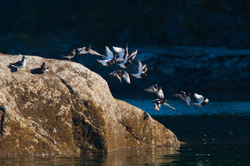 Turnstones Take Flight -  Wading bird photo