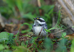 Kinglet ~ Warbler picture from Cortes Island Canada.
