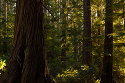 Red Cedar ~ Wilderness picture from Cortes Island Canada.