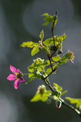 Salmon Berry ~ wildflower picture from Cortes Island Canada.