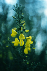 Scotch Broom ~ Wildflower picture from Cortes Island Canada.