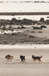 Gray Wolves Running on the Beach -  Wolf photo