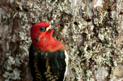 Red-breasted Sapsucker -  Woodpecker photo