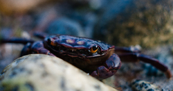 Hemigrapsus nudus - Cortes Island Crab photo