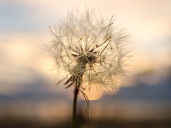 Dandelion Seeds on a Windless Evening -  Dandelion photo