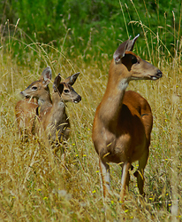 Family of Blacktail Deer -  Deer Family photo