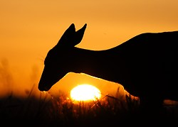 Blacktail Doe Silhouetted by the Setting Sun - Cortes Island Deer photo