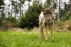 Baby Black-tailed Deer with Tongue Out - Cortes Island Deer photo