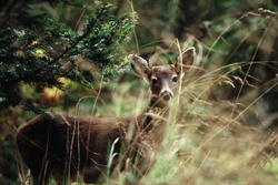 Blacktail Deer in Tall Grass - Cortes Island Deer photo