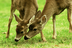 Mother and Son - Cortes Island Deer photo