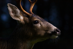 Blacktail Deer - Cortes Island Deer photo