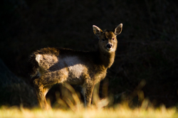 Balck Tailed Deer - Cortes Island Deer photo
