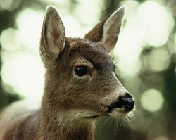 Black-tailed Deer Protrait - Cortes Island Deer photo