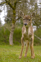 Baby Blacktail - Cortes Island Deer photo