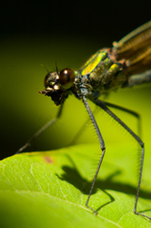 Dragonfly - Aillevillers Dragonfly photo