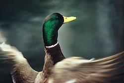 Mallard ~ Duck Photo from Vancouver Canada.